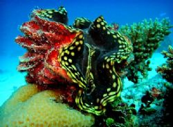 Giant Clam, Near Bigej Island. Fairly shallow water, 30 f... by Lee Craker