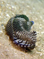 Tiger Stripe Nudi With Eye! Taken With Canon S80. by Ed Eng