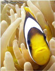Clown fish taken at Coral Gardens, Dhab Egypt. Sea&Sea 80... by Jonny Simpson-Lee