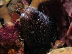 Spotted moray poking it's head out. by Martin Spragg