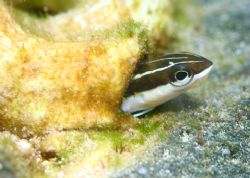 Tubeworm Blenny. Taken at Sharks Cove, Oahu. % ft of wter... by Mathew Cook