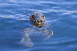 Grey Seal, Dunbar, Scotland From boat using D70 with 80m... by Mike Clark