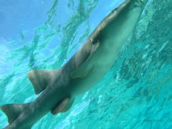 pregnant nurse shark by Andrew Kubica