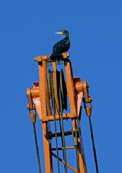 Cormorant on boatyard crane.