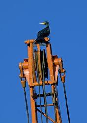 Cormorant on boatyard crane. Northwich marina. D200,28-... by Mark Thomas