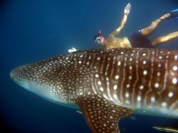 (Resized image) Taken whilst snorkelling with whale shark... by Petra Kuzev