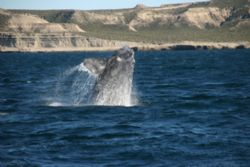 Breaching southern right whale in patagonia, peninsular v... by David Thompson