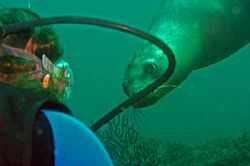 Diver with Curious Sea Lion - Taken in Sea of Cortez (Mex... by Christopher Pendleton
