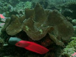 Giant Clam with my fin placed below it for perspective. S... by Marylin Batt