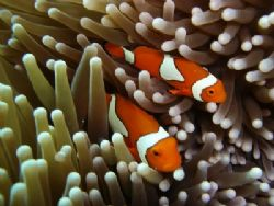 Nemo I am you father - Clown fish on the Great Barrier Reef by Petra Kuzev