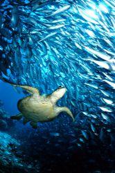 sipadan island tootle and a school of jack fishs by J.lou Ferretti