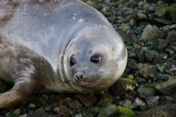 elephant seal taking a breather. by David Thompson