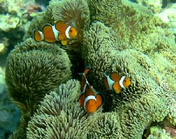 Fred, Bob and Mary - Amphiprion ocellaris in Stichodactyl... by Michael Arvedlund