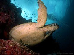 Turtle in Sipadan !! E900 with fish eye lens... by Alex Tattersall