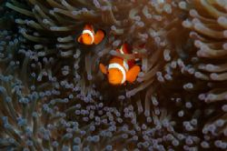 Double trouble - anenome fish in Lembeh.... by Simon Pickering