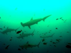 School of Hammerheads taken aboard the Galapagos Aggresso... by Charlie Foreman