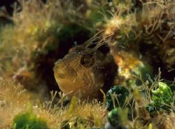 Tiny blenny. Menorca. F50,60mm. by Derek Haslam