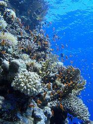 Colorful reef and anthias taken at Shark Observatory usin... by Nikki Van Veelen