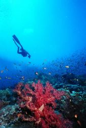Soft Coral and Diver, Jackson Reef, Strait of Tiran, Egypt. by Erich Reboucas