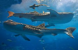 The whalesharks at Churaumi Public Aquarium, Okinawa, Jap... by Michael Arvedlund