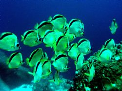 School of Barber fish gathered waiting for hammerheads to... by Charlie Foreman