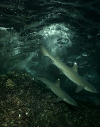Above or Under ??? Whitetips reef sharks hunting at night... by Ofer Ketter