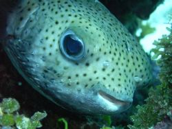 what a cutie this Porcupinefish is:) by Lora Tucker