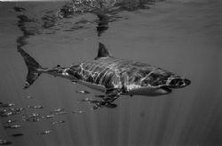 Great White Shark cruising past. Black & White film. by Richard Smith