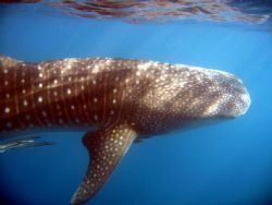 whale shark chillin by Petra Kuzev