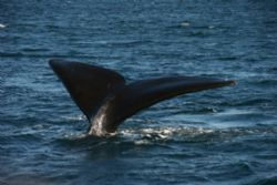 Fluke, Southern Right whale at oeninsula valdes by David Thompson