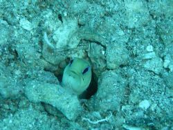 Jawfish playing peek-a-boo! by Lora Tucker