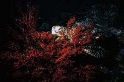 peek a boo.green turtle munching on some soft coral,sipad... by Parvin Dabas