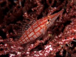 We were not the only ones looking for pygmy seahorses on ... by Alex Tattersall