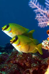 a pair of beautiful fish in bali. I was use my new digita... by Steve So