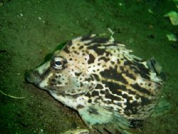 Chanchito from chilean fjord comau paragonia by David Thompson