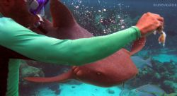 shrimpy hand feeding a nurse shark by Andrew Kubica