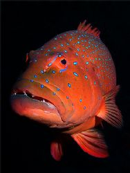 Coral trout on velvet. Olympus 5050; single Inon 220s str... by Kristin Anderson