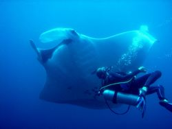Diver and Manta - Hin Daeng near Phi Phi Islands by James Nicholson