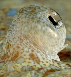 I was able to swim right up to this flounder on a recent ... by David Heidemann