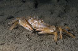 Harbour crab on a muck dive. Scotland. D200, 60mm. by Derek Haslam