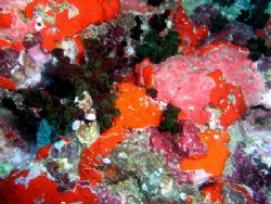 Assorted sponges taken while diving at Muthafushi Thila n... by Anna Wright