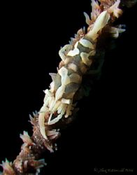 Whip coral partner shrimp in Malaysia.. e900 and macros by Alex Tattersall
