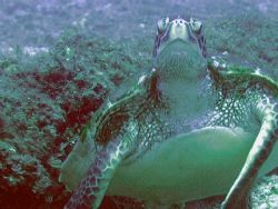 """""""Old Turtle and the Sea"""",  Hey, you would be all wrinkl... by Nicolas Pohl"""