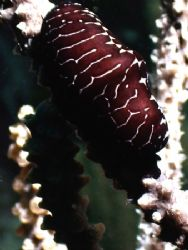 the image is a Black Flamingo Tongue. I have been diving ... by Steven Anderson