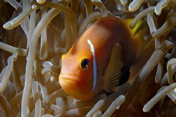nik D200 and SB 800 in sealux housing, Black Anemonefish ... by Manfred Bail