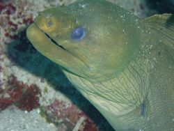 Green Moray EEL. by Lora Tucker