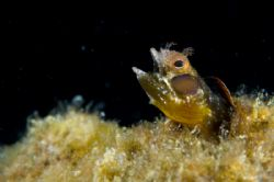 """""""Burp"""" Blenny after a bite to eat, looked like he was be... by Richard Horn"""