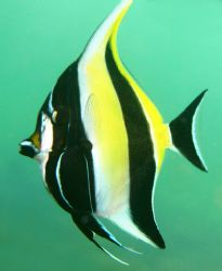 Moorish Idol. Photo taken in Haleiwa, HI- about 8 ft of w... by Mathew Cook