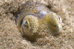 Little cuttlefish. Trefor pier. North Wales. D200, 60mm. by Derek Haslam