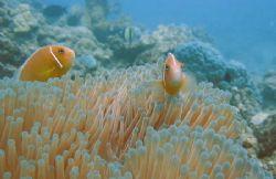 Clownfish Off Nagini Island, Fiji  by Tracey Smith